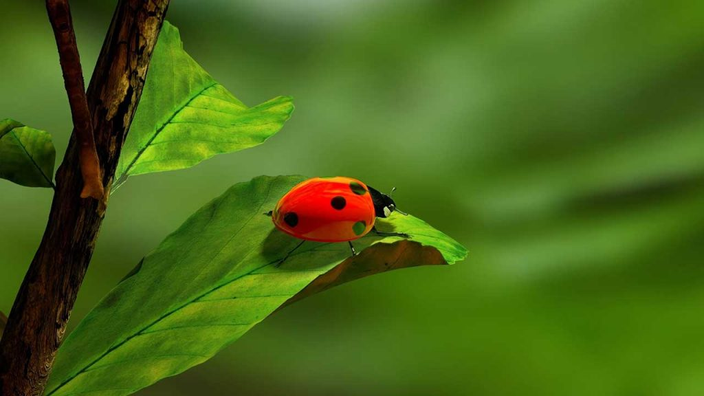 Image of Lady Bug on a Leaf